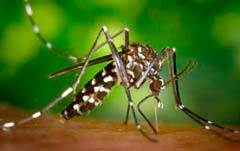 тигровый комар