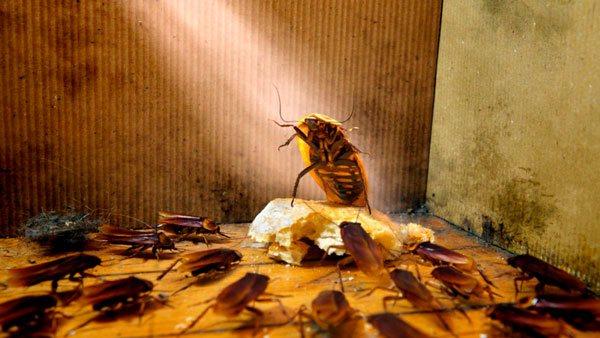 колония тараканов в доме